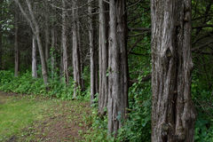 Line of creepy trees Royalty Free Stock Photos