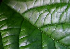 Line and detail of leaf pandan green Royalty Free Stock Image