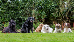 Line of Dogs Royalty Free Stock Photo