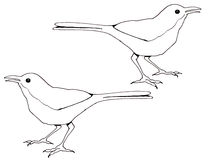 Line Drawing of Birds, Thrasher. This is my original, freehand, line drawing of a long-billed Thrasher.  The reverse image of the bird is also part of this image Stock Images