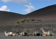 A line of dromedary camels on hills of black ash Stock Images