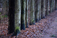 Line of the fir tree Royalty Free Stock Images