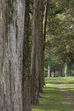 Line of firs. A stand of white fire trees all in a row Stock Image