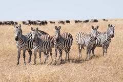 Line of five zebra staring at camera Stock Images