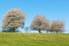 Line of flowering cherry trees Royalty Free Stock Photos