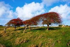 A line of four windswept Ripe red hawthorn berry bush, Crataegus monogyna in a field. A line of four windswept ripe red hawthorn berry trees in a green field stock photos