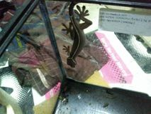 Line gecko. Pretty hansom face stock images