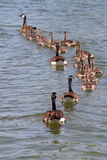 Line of Geese and Goslings Royalty Free Stock Photo