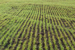 Line of grass in the field. Spring Royalty Free Stock Photography