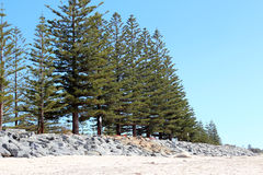 Line of Green Pine trees at Beach Royalty Free Stock Photography