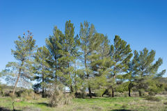 Line of Green Pine Trees Royalty Free Stock Photography