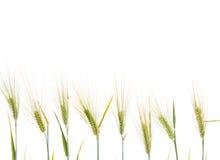 Line of green rye- grain Stock Photos