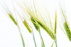 Line of green rye- grain Royalty Free Stock Photo