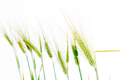 Line of green rye- grain Royalty Free Stock Images