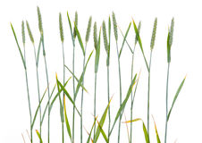 Line of green wheat- grain. In front of white background Stock Photography