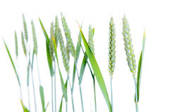 Line of green wheat- grain. In front of white background Stock Photos