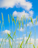 Line of green wheat- grainin front of blue sky Royalty Free Stock Images