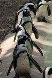 Line of Humboldt Penguins Stock Images