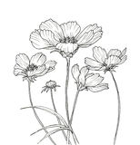 Line ink drawing of cosmos flower Stock Image