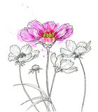 Line ink drawing of cosmos flower. With watercolor. Black contour on white background Royalty Free Stock Image