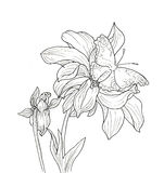 Line ink drawing of dahlia flower Stock Photo