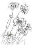Line ink drawing of flower Royalty Free Stock Image