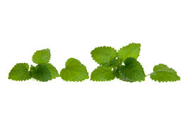 Line of isolated lemon balm leaves Royalty Free Stock Photography