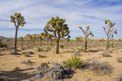 Line of Joshua Trees Royalty Free Stock Photography
