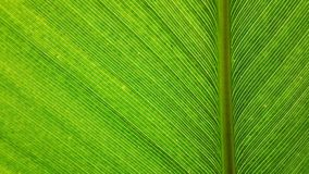 Line on leaf Royalty Free Stock Photography