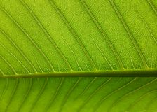 Line leaf Stock Image
