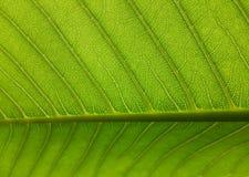 Line leaf stock image