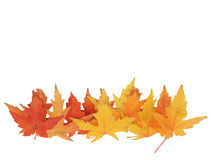 Line of leaves. Line of bright yellow maple leaves Royalty Free Stock Image