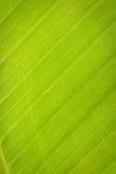 Line of leaves banana tree Stock Photos