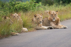 Line of Lions. A group of young lions resting on the roadside Stock Images