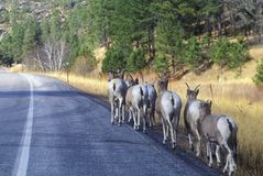 Line of Mountain Goats on roadside, outside of Mount Rushmore, SD Stock Images