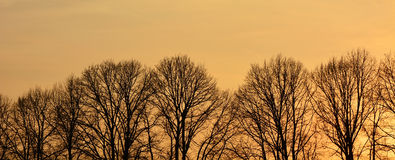 Line of naked trees at the sunset Royalty Free Stock Photos