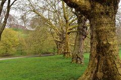 A line of Oak trees in Greenwich park. A row of large Oak trees in Greenwich park London royalty free stock image