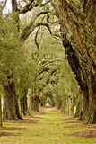 Line of Oak Trees to Distance. Massive old southern oak trees draped with spanish moss Stock Photos