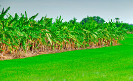 Line Of Banana Plant Stock Photography