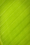 Line Of Leaves Banana Tree Stock Photos