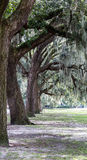 Line of Old Oaks in Park Stock Images