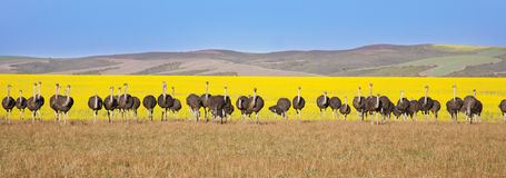 Line of Ostriches stock images