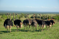 A line of ostriches Royalty Free Stock Images