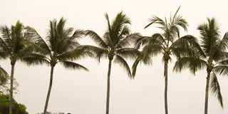 Line of Palm Trees. Palm trees in tropics Royalty Free Stock Image