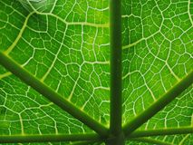 Line of papaya leave , green and white natural texture Royalty Free Stock Image