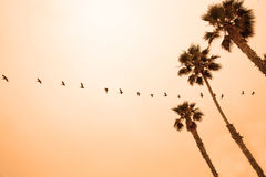 A Line of Pelicans Flying at Sunset Royalty Free Stock Image