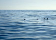 Line of Pelicans Glides over Glassy Ocean Surface royalty free stock images