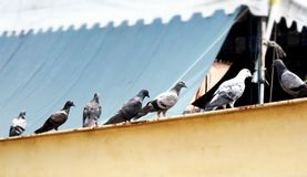 Line of Pigeons Royalty Free Stock Photos