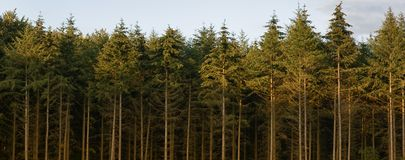 Line of pine trees. Shot of a line of pine trees, bare on the bottom, green on the top stock images
