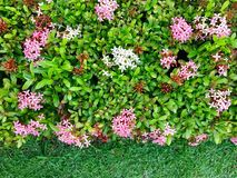 Line of ping and red flower bloom. In garden royalty free stock images
